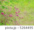 萩の花 5264495