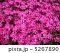ピンクのシバザクラ 5267890