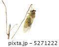 アブラゼミの羽化 5271222