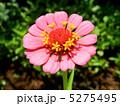 ヒャクニチソウ(百日草) 5275495