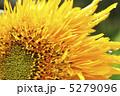 八重咲き ひまわり 向日葵の写真 5279096