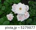 バラ園 ピンクのバラ アスピリンローズの写真 5279877
