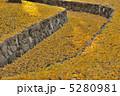 晩秋 黄色の絨毯 5280981