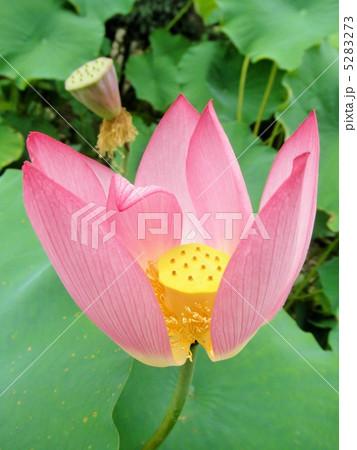 蓮の花 大賀蓮(オオガハス) 花言葉:純真な心 Lotus Flower 5283273