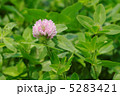 赤クローバー 紫詰草 ムラサキツメクサの写真 5283421