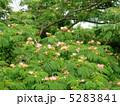 ねむのき 合歓の木 合歓木の写真 5283841