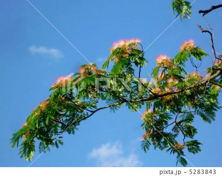 満開の合歓木と青空 5283843