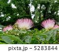 合歓木 ねむのき 合歓の木の写真 5283844
