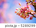 河津桜 つぼみ カワヅザクラの写真 5289299