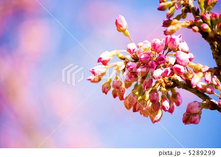 河津桜の蕾 5289299