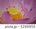 古代蓮 オオガハス 花の写真 5289950