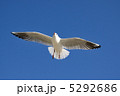 渡り鳥 飛翔 ユリカモメの写真 5292686
