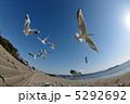 渡り鳥 飛翔 ユリカモメの写真 5292692