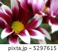小菊 きく こぎくの写真 5297615