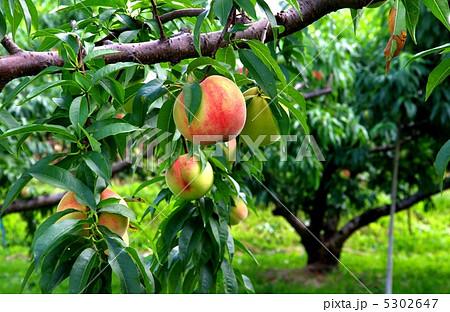 桃の木と実 成熟期の桃 5302647