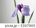 菖蒲 5307905