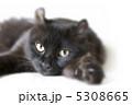 ネコ アメリカンカール 成猫の写真 5308665