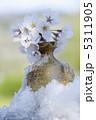 初春 お花 さくらの写真 5311905
