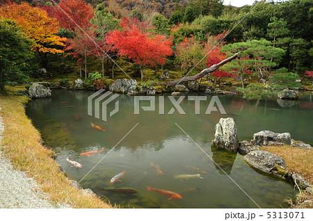 京都 天龍寺 鯉の泳ぐ曹源池 5313071