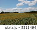 ひまわり畑 5313494