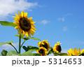 ひまわり ヒマワリ 向日葵の写真 5314653