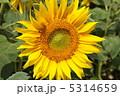 ひまわり ヒマワリ 向日葵の写真 5314659