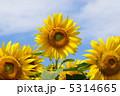 ひまわり ヒマワリ 向日葵の写真 5314665