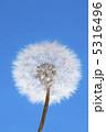 蒲公英 たんぽぽ 植物の写真 5316496