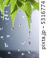 カエデ かえで 葉っぱの写真 5316774