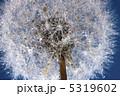 蒲公英 たんぽぽ タンポポの写真 5319602