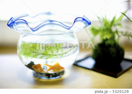 金魚の写真素材 [5320129] - PIXTA