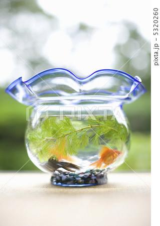 金魚の写真素材 [5320260] - PIXTA