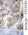 春の花 さくら 初春の写真 5323292