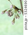 つぼみ お花 さくらの写真 5324690