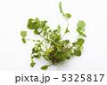 春の七草 ナズナ なずなの写真 5325817