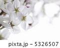 さくら 春の花 ピンク色の花の写真 5326507