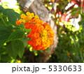 七変化 ランタナ シチヘンゲの写真 5330633