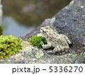 蛙 ツチガエル イボガエルの写真 5336270
