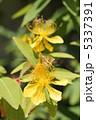 未央柳 マルバビヨウヤナギ 美容柳の写真 5337391