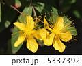 未央柳 マルバビヨウヤナギ 美容柳の写真 5337392