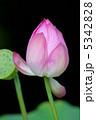 蕾 植物 花の写真 5342828
