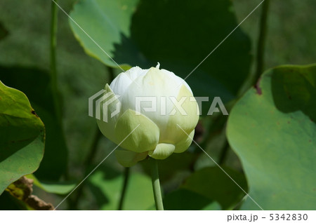 小形の白い漢蓮(かんれん) 別名 白玉蓮(しらたまはす) 5342830