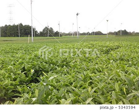 茶畑 5343594