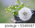 タンポポ 綿毛 植物の写真 5346087