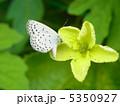 ヤマトシジミ 5350927