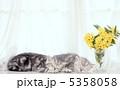 仔猫 アメリカンショートヘア ネコの写真 5358058