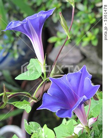 桔梗咲きアサガオ(青) 5361478