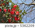 ツバキ 椿の花 つばきの写真 5362209