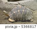 ホウシャガメ マダガスカルホシガメ カメの写真 5366817