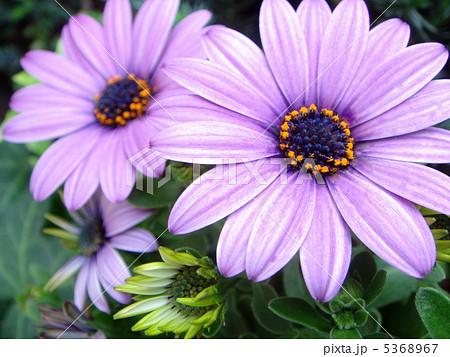 オステオスペルマム(淡紫):ディモルフォセカ 5368967